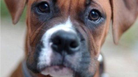 mutilazione per mostre canine